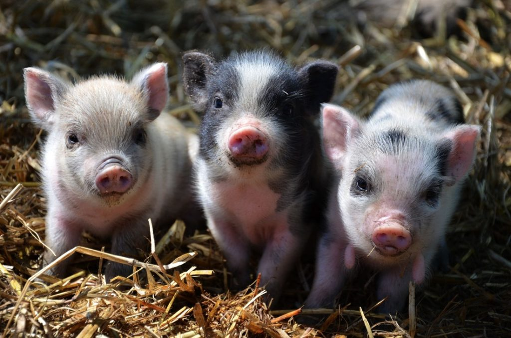 Tips for little Piggy Owners